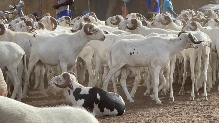 Tabaski 2021: Mohamed Ndiaye Rahma commence à convoyer des camions remplis de moutons qui vont être gracieusement offerts aux populations de Kaolack (images).