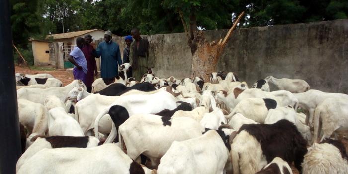 Préparatifs Tabaski à Kolda :  Calvaire des éleveurs du nord…Absence de mesures barrières contre la Covid-19 …