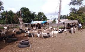 Zone rurale de Touba-Mbacké / Le bétail peine à trouver de quoi manger.