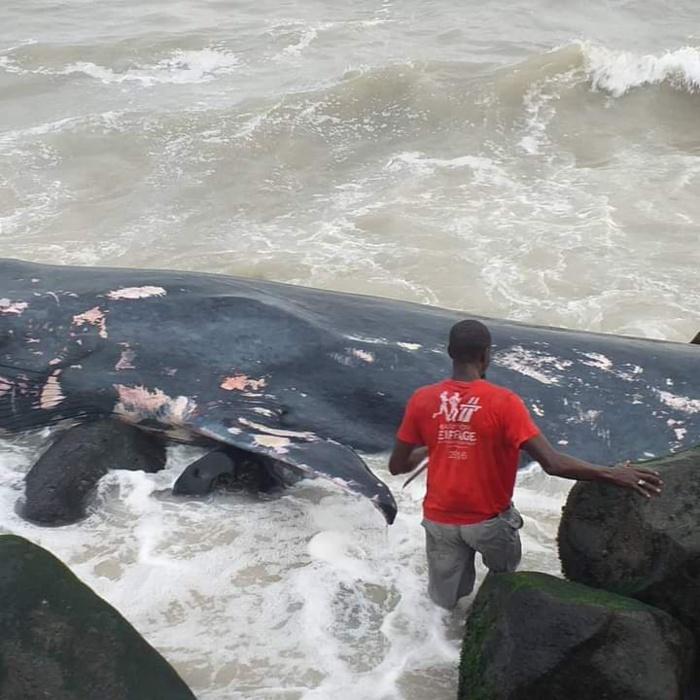 Rufisque : une baleine s'échoue à la plage de Keuri Kaw.