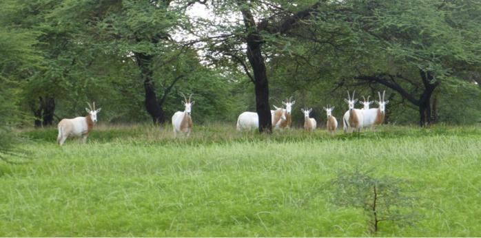 Gazelles Oryx : naissance de petits ruminants dans la Réserve naturelle communautaire (RNC) de Koyli-Alpha