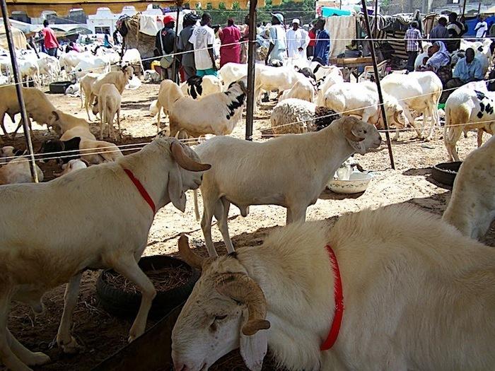 Victimes, les Sénégalais l'ont été encore à cette Tabaski 2013, pour avoir cru naïvement à l'optimisme béat du ministre de l'élevage.
