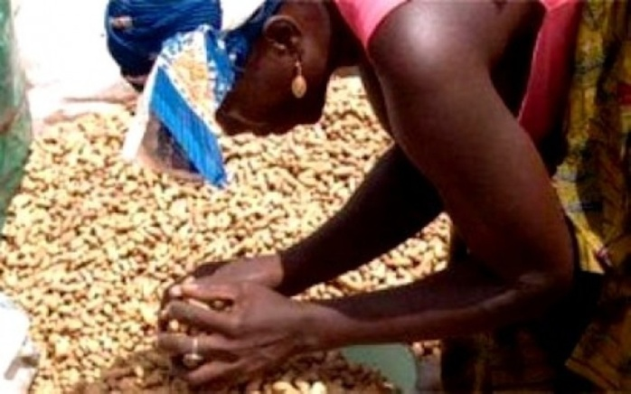 Scandale dans le marché des semences d'arachides : Plus de « 20 milliards » détournés par des opérateurs véreux