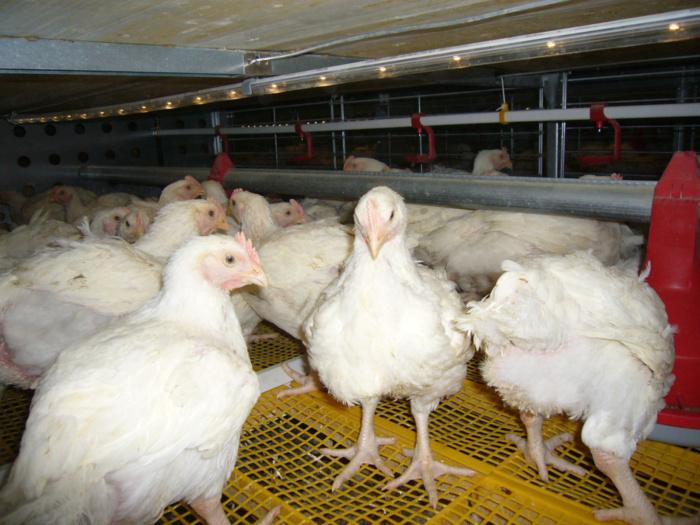 Israël cesse d'exporter vers l'UE les volailles élevées dans les colonies
