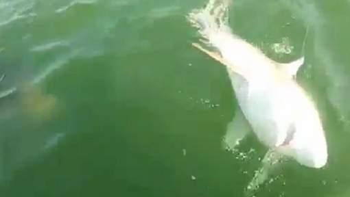 Un requin gobé par un monstre marin