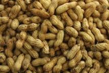 Louga/Agriculture: Des craintes d'une baisse de la production arachidière