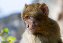 Ebola : un vaccin efficace testé sur les singes