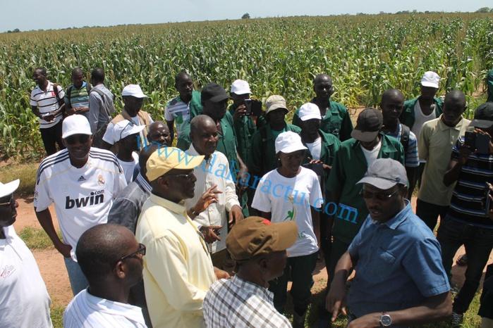 SEFA (région de Sédhiou) : les douze mille tonnes de production de maïs ont trouvé acquéreur