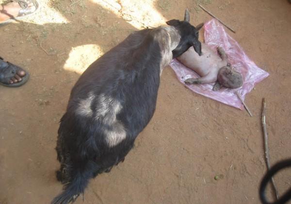 """NIGERIA : Une chèvre donne naissance à un  """"humain"""""""