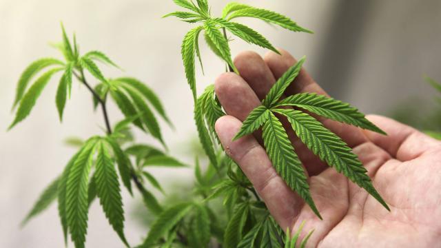 Une marque de cannabis au nom de Marley