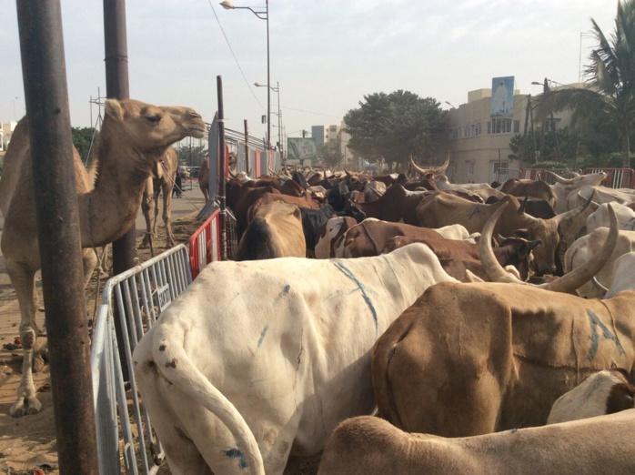 Gamou 2015 : Cheikh Béthio Thioune inonde Mermoz de bœufs et de chameaux