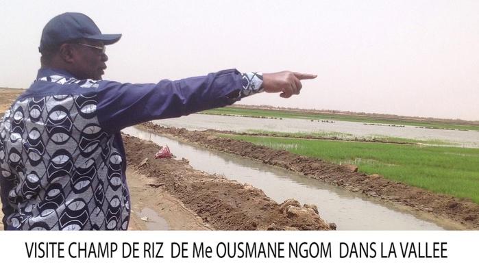 Reconverti en cultivateur de riz de la Vallée : visite guidée dans les champs de Me Ousmane N'gom