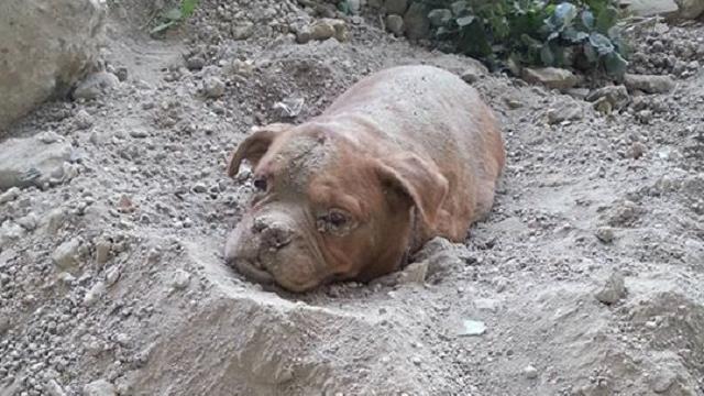 Le sauvetage d'une chienne enterrée vivante suscite une vive émotion