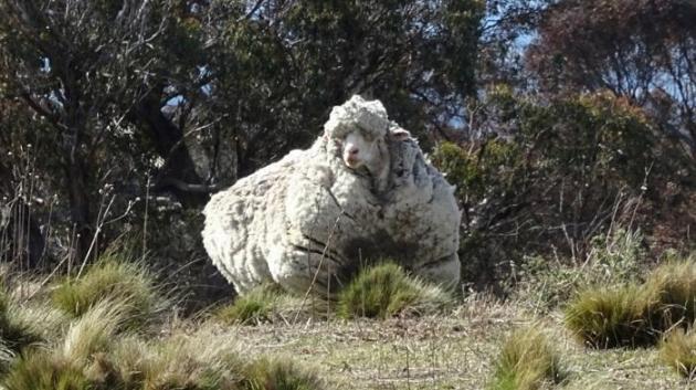 INSOLITE/Australie : un des moutons les plus laineux au monde risque la mort s'il n'est pas tondu