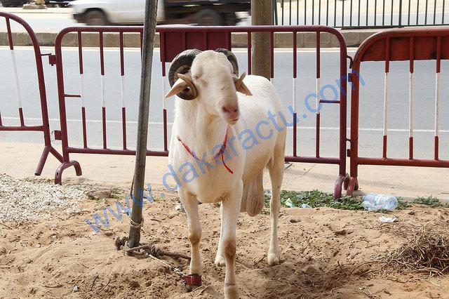 Les voleurs dérobent les moutons de Tabaski de l'adjoint au sous-préfet de Sagatta