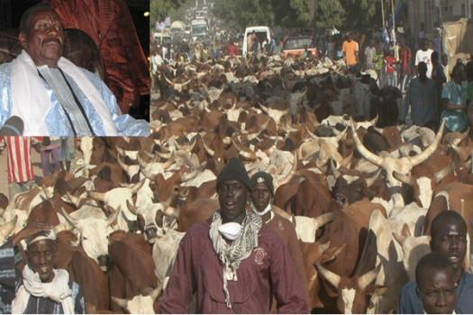 CHEIKH BÉTHIO, SES DISCIPLES ET LE MAGAL : Les bouchées doubles pour 2015... 3 000 bœufs en vue