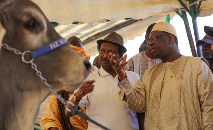 JOURNEE DE L'ELEVAGE A KOUNGHEUL : Le milliardaire Baba Diao présente des boeufs au président de la République Macky Sall