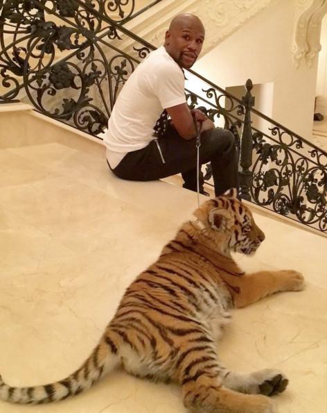 Un cadeau de Noël particulier pour Mayweather : Un tigre du Bengale