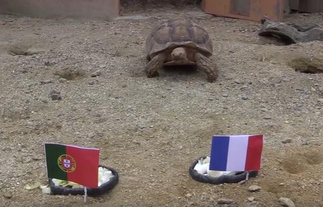 Euro 2016 : France/Portugal, voilà ce que la tortue pronostiqueuse Ariane a prédit...