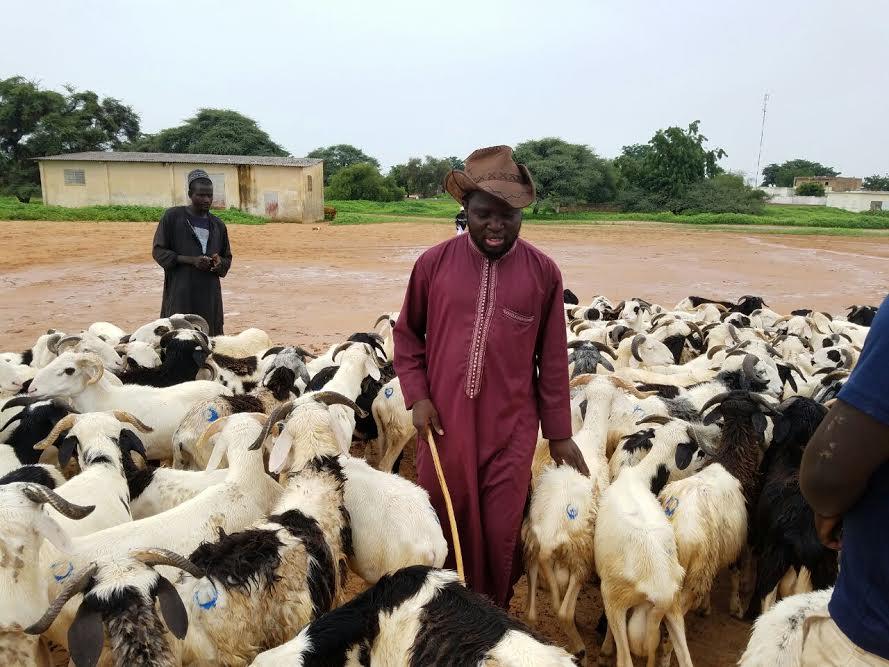 TABASKI À TOUBA - Un député dans un foirail en train de vendre des moutons