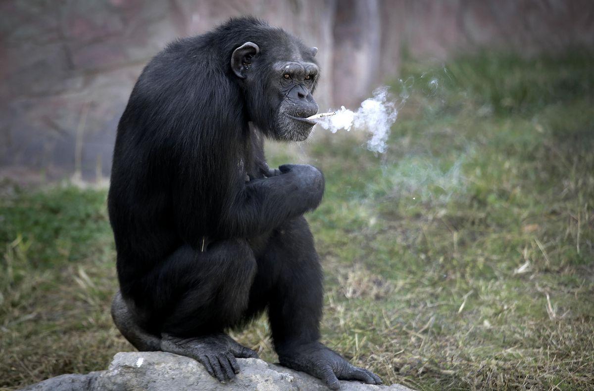 Le singe d'un zoo de Corée du Nord fume un paquet de clopes par jour et les visiteurs adorent ça