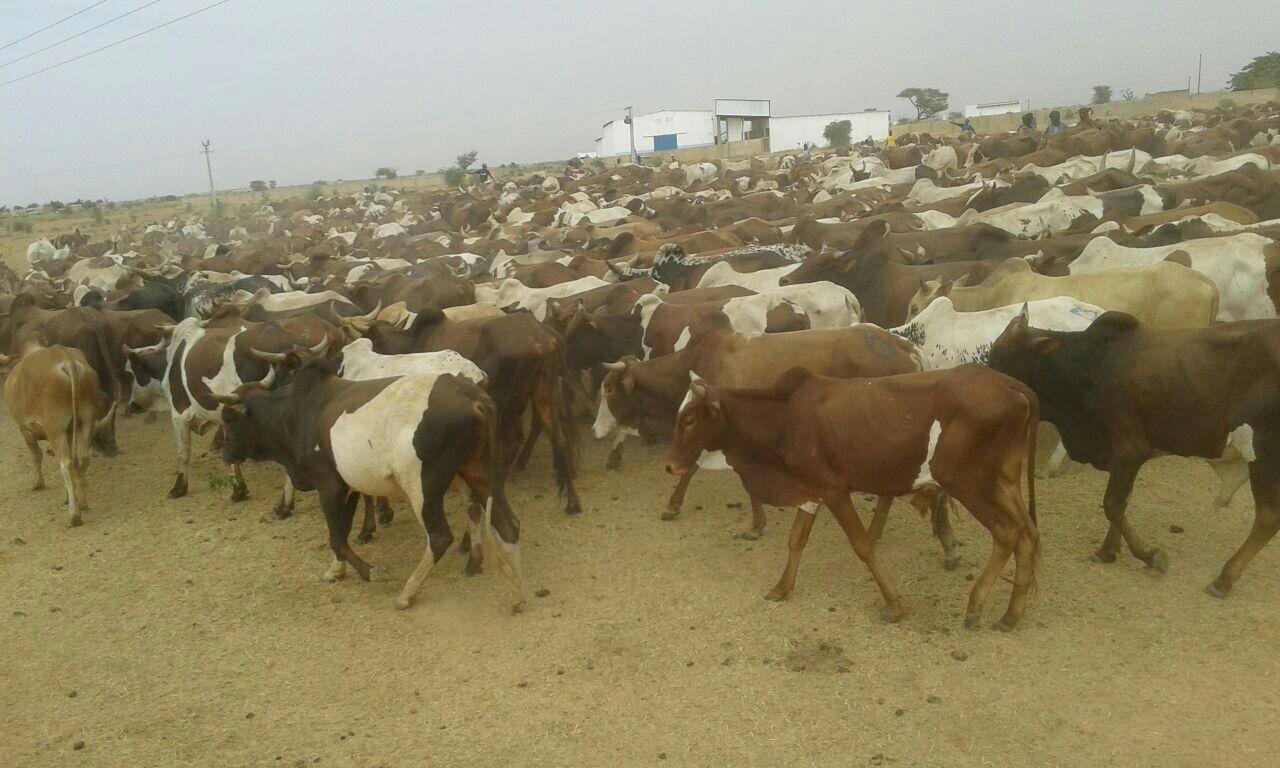 MAGAL 2016 : L'arrivée de près de 5000 boeufs à Dianatou Mahwa chez Cheikh Béthio Thioune (IMAGES)