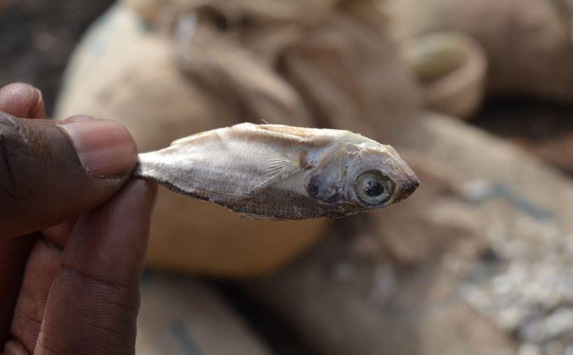 Pêche illicite : 225 sacs de juvéniles de sardinelles estimés à 40 millions de FCFA saisis et incinérés