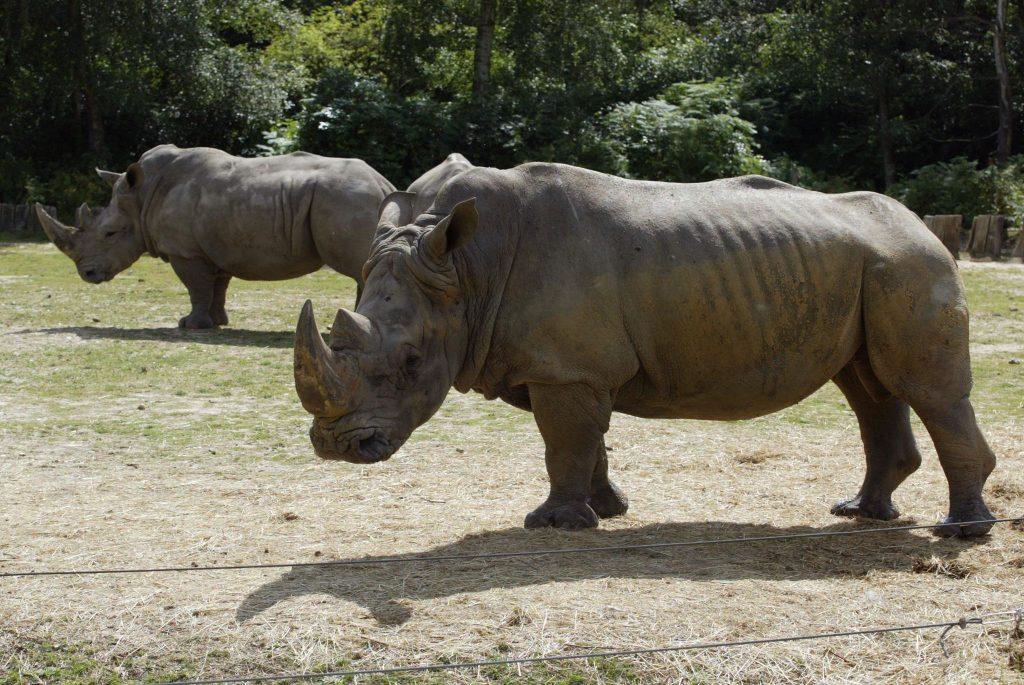 FRANCE : Un rhinocéros blanc abattu par des braconniers dans un zoo