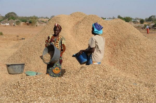 Filière arachidière du Sénégal : La Banque Mondiale (BM) magnifie les performances du secteur