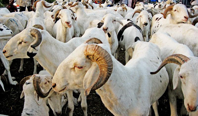 Tabaski 2017 à Saint-Louis : La région nord a besoin de 155.000 moutons par rapport au besoin national