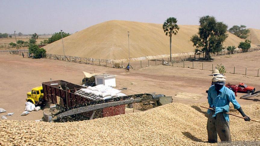 Campagne de commercialisation de l'arachide 2017-2018 : La SONACOS cherche 50 milliards de F Cfa