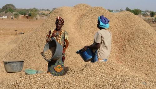 Ouverture de la campagne de commercialisation de l'arachide : Seule la Sonacos a commencé à réceptionner l'arachide des paysans du Saloum