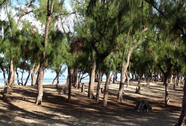 CAYAR : Plus de 2 hectares de forêts de « Filaos » dévastés