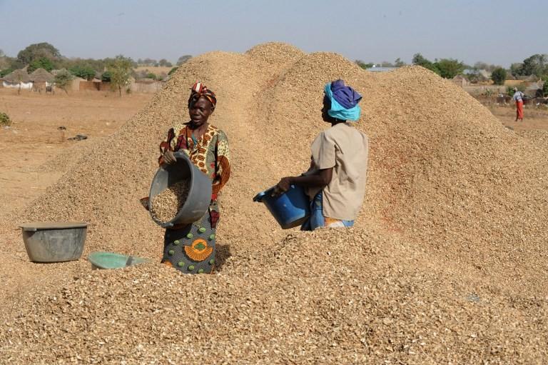 Sonacos Lyndiane : Du 1er au 12 décembre, l'usine n'a réceptionné que 400 tonnes de graines d'arachide
