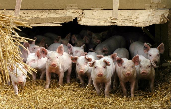Elevage traditionnel : l'Isra améliore les productions porcines en Casamance (Communiqué)