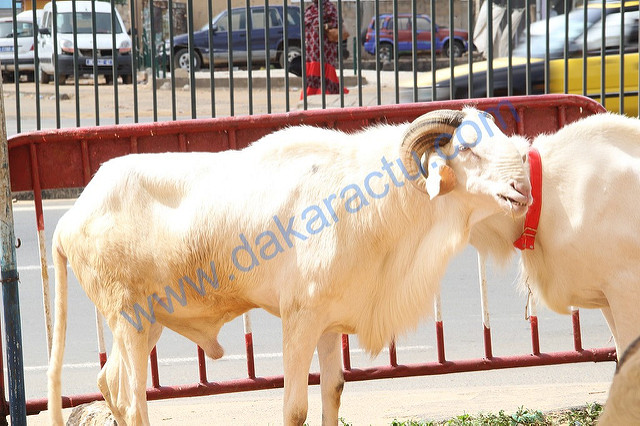 Dix moutons volés ont été retrouvés par la gendarmerie de Louga.