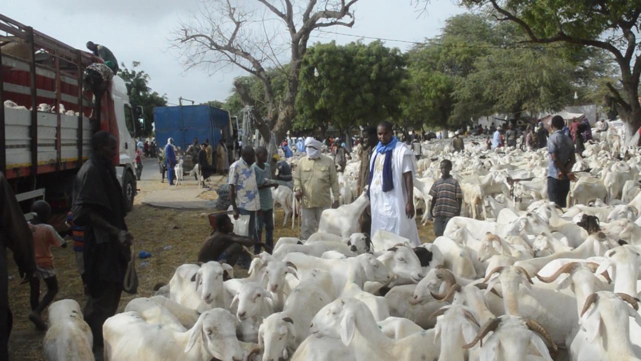 Saint-Louis : les foirails de Darou et Pikine bien approvisionnés en moutons, les prix restent toujours élevés