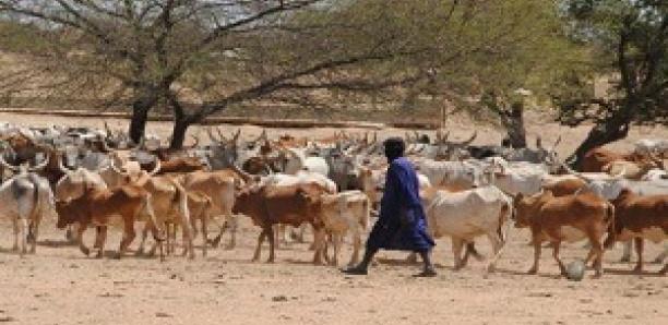 Bagarre dans le Ferlo : Un berger tué par arme à feu