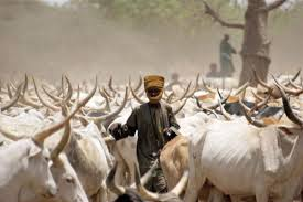 Louga : La mafia des bœufs démantelée