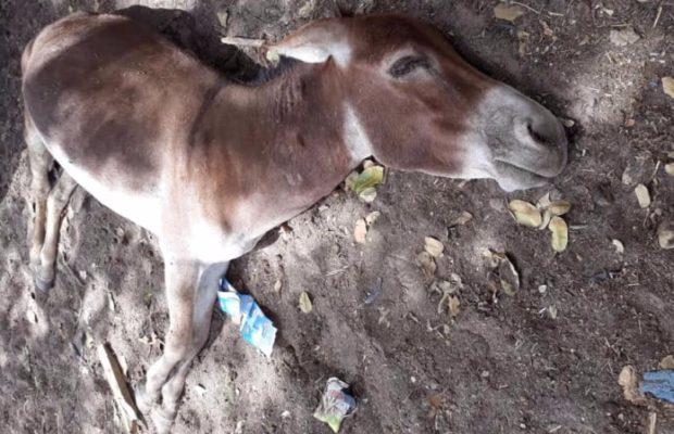 Région de Tambacounda / Grippe Équine : La maladie emporte une centaine d'ânes