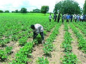 HIVERNAGE À KOLDA : Les cultures sont bien arrosées… L'inquiétude des cultivateurs dissipée.