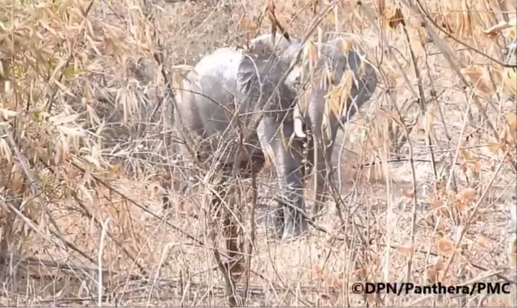 Niokolo Koba (PNNK) : Un retour des éléphants observé