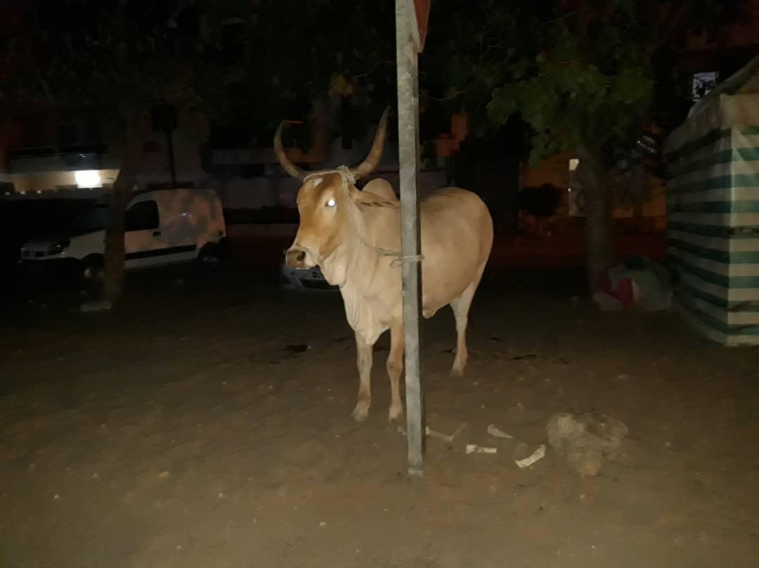 Hygiène publique : Abdou Karim Fofona envoie tous les bœufs errant à la fourrière.