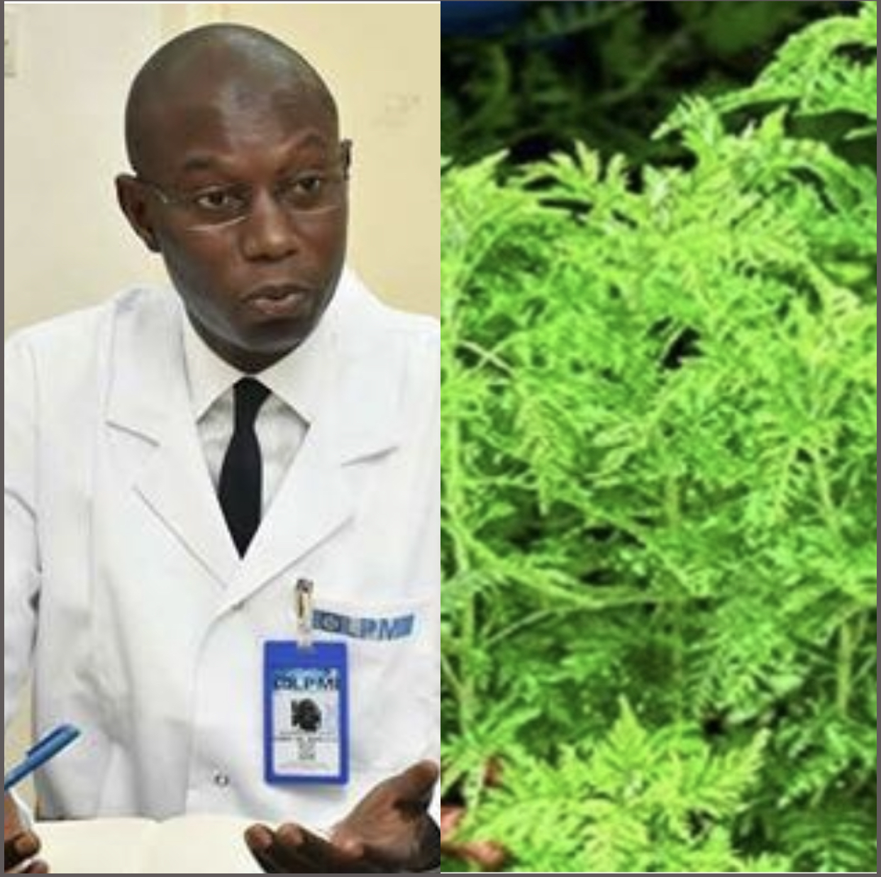 Exclusif! Essai clinique sur l'artémisia : le comité national d'éthique pour la recherche en santé a reçu le protocole du Dr Daouda Ndiaye.