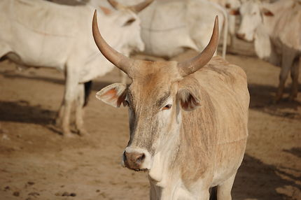 KOLDA / Vol à main armée à Saré Sény : 8 vaches emportées.