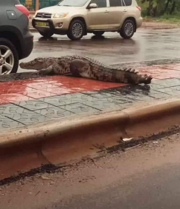Insolite à Ouagadougou : Des crocodiles en circulation éblouissent la ville.