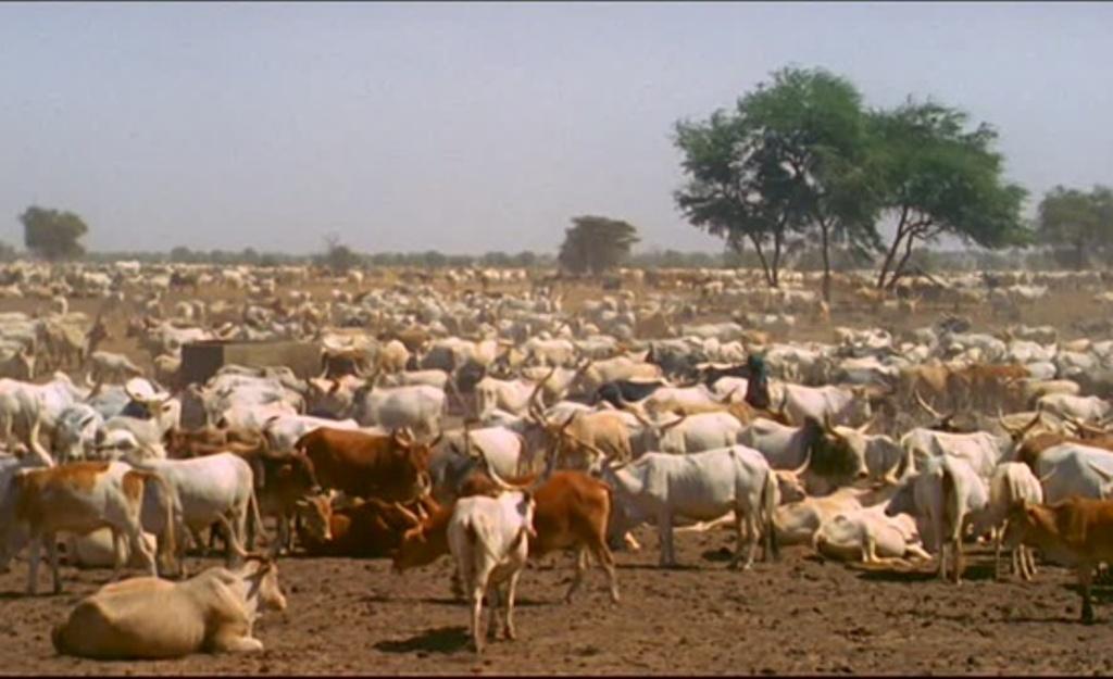 KOLDA : Recrudescence du vol de bétail dans le Médina Yoro Foula.