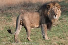 Oussouye : Un lion rôde autour des habitations depuis plusieurs jours (conservateur)