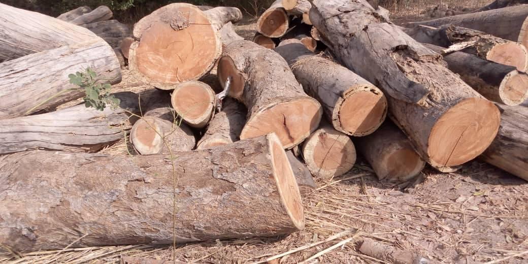Trafic illicite de bois à Kolda : 98 billons saisis dans la forêt de Koudora.