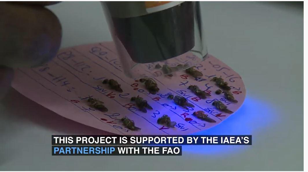 Lâcher de « mouches » dans la zone de Allou Kagne : une simple « technique des insectes stériles » pour lutter contre la mouche tsé-tsé...